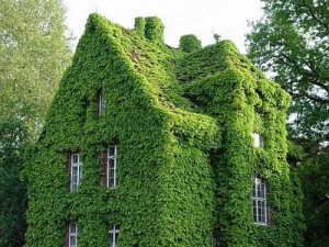 green-ivy-covered-house-ivy